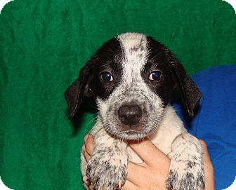 German Shorthaired Pointer/Australian Cattle Dog Mix Puppy for adoption in Oviedo, Florida - Foxy