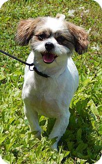 Shih Tzu Dog for adoption in West Sand Lake, New York - Shaggy(15 lb) PERFECT Boy!
