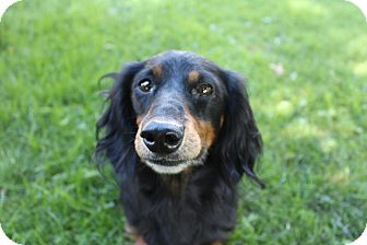 Dachshund Dog for adoption in Marcellus, Michigan - Bogie - ADOPTION PENDING