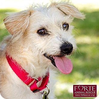 Terrier (Unknown Type, Small)/Border Terrier Mix Dog for adoption in Marina del Rey, California - Koa