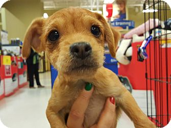 Cairn Terrier Mix Puppy for adoption in Mesa, Arizona - Poco