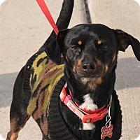 Adopt A Pet :: Oscar Meyer - Meridian, ID