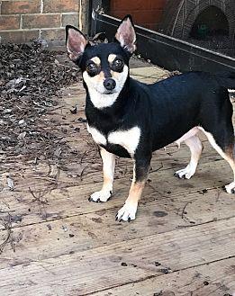 Chihuahua Mix Dog for adoption in Texarkana, Texas - Sassy