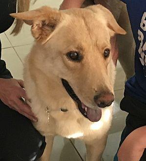 Labrador Retriever Dog for adoption in Miami, Florida - Ginger
