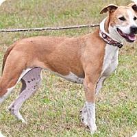 Adopt A Pet :: Aubie - Cashiers, NC