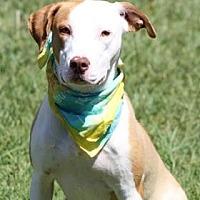 Adopt A Pet :: Saphira - Norman, OK