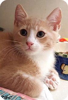 Domestic Shorthair Kitten for adoption in Key Largo, Florida - Zoro