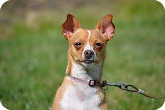 Chihuahua/Italian Greyhound Mix Dog for adoption in Fairfield, Ohio - Sally- adoption pending