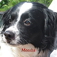 Adopt A Pet :: Meesha - Warren, PA
