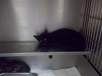 Domestic Shorthair/Domestic Shorthair Mix Cat for adoption in Palm Coast, Florida - Eagle Crest 5