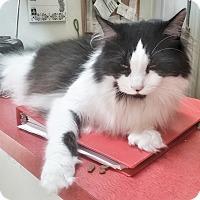 Adopt A Pet :: Socks - Jackson, MO