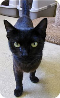 Domestic Mediumhair Cat for adoption in Chula Vista, California - Godiva