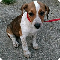 Adopt A Pet :: Georgie - Windham, NH