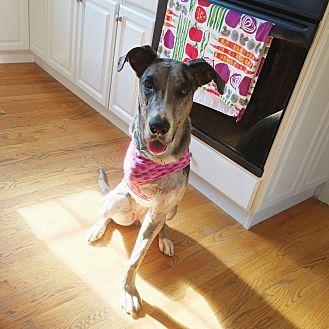 Greyhound/Labrador Retriever Mix Dog for adoption in Unionville, Pennsylvania - Piper2