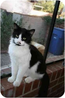 Domestic Mediumhair Cat for adoption in tucson, Arizona - Zorro