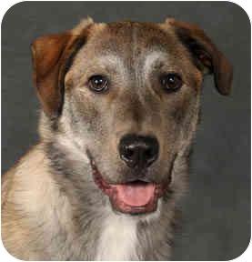 Husky/Labrador Retriever Mix Dog for adoption in Chicago, Illinois - Trenton