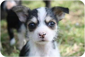 Terrier (Unknown Type, Small) Mix Puppy for adoption in White Settlement, Texas - Prada