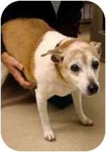 Jack Russell Terrier/Terrier (Unknown Type, Medium) Mix Dog for adoption in Los Angeles, California - MILLIE