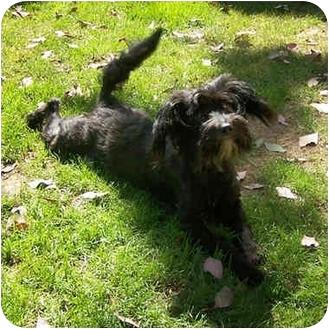 Schnauzer (Miniature) Mix Dog for adoption in El Segundo, California - Amelie