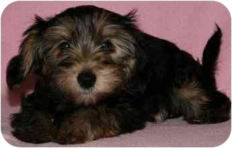 Chinese Crested/Yorkie, Yorkshire Terrier Mix Puppy for adoption in House Springs, Missouri - Deena