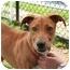 Photo 1 - Labrador Retriever/Hound (Unknown Type) Mix Dog for adoption in Islip, New York - Sage