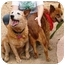 Photo 3 - Australian Cattle Dog Mix Dog for adoption in Phoenix, Arizona - Tracey **ADOPTION PENDING**