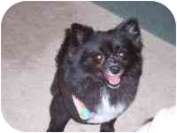 Pomeranian Mix Dog for adoption in Williamsburg, Virginia - Prissy