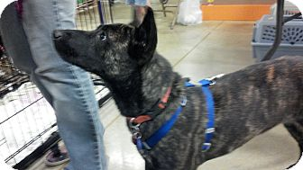 Australian Cattle Dog Mix Dog for adoption in Saint Clair Shores, Michigan - Sophie