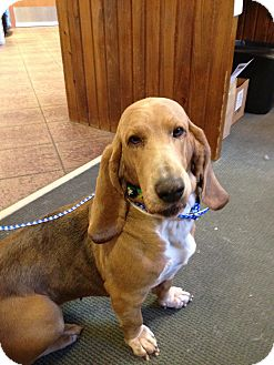 Basset Hound Dog for adoption in Groton, Massachusetts - Brownie