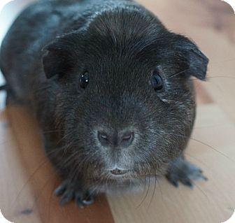 Guinea Pig for adoption in Brooklyn Park, Minnesota - Hershey