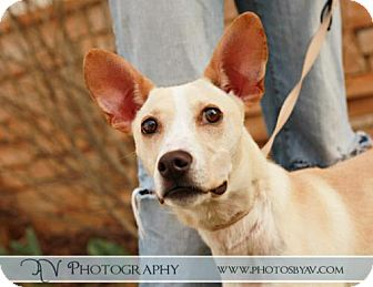Corgi/Jack Russell Terrier Mix Puppy for adoption in Lancaster, Ohio - Rocket