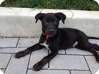 Labrador Retriever Mix Puppy for adoption in Chicago, Illinois - FINN