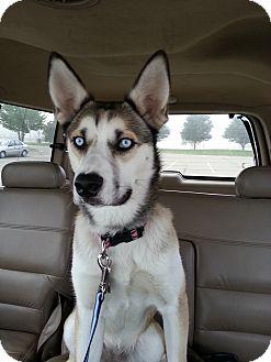 Husky/English Bulldog Mix Puppy for adoption in Elkhart, Indiana - Daisy