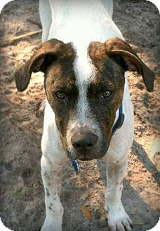 Pointer/English Pointer Mix Dog for adoption in Groveland, Florida - Alvin (loves cats!)