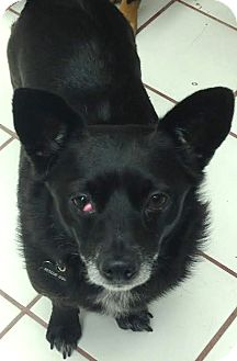 Chihuahua/Terrier (Unknown Type, Small) Mix Dog for adoption in Encino, California - Benjamin