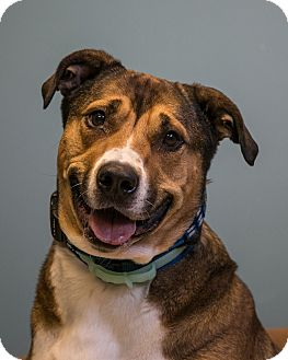 Shepherd (Unknown Type)/Akita Mix Dog for adoption in Staunton, Virginia - Otis