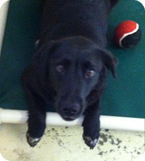 Labrador Retriever Mix Dog for adoption in Greensburg, Pennsylvania - Jada