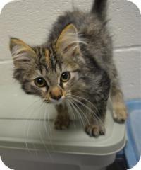 Domestic Mediumhair Kitten for adoption in Jacksonville, Arkansas - Myra