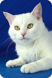 Domestic Shorthair Cat for adoption in Columbia, Illinois - Alba