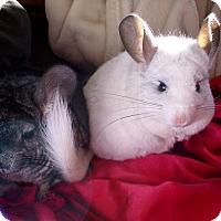 Adopt A Pet :: Piglet & Layla - Virginia Beach, VA