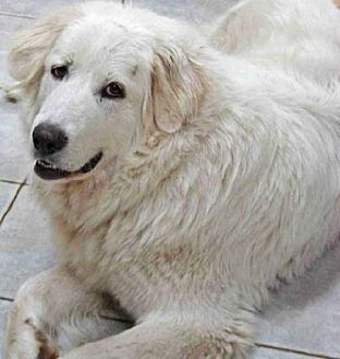 Great Pyrenees Dog for adoption in Beacon, New York - Fosters Needed!