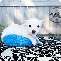 Adopt A Pet :: Bart Simpson - Shawnee Mission, KS
