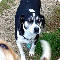 Adopt A Pet :: MAGGIE - Coudersport, PA