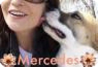 Shepherd (Unknown Type)/Spaniel (Unknown Type) Mix Dog for adoption in Dallas, Texas - Mercedes