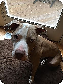 American Pit Bull Terrier Mix Dog for adoption in Baltimore, Maryland - May