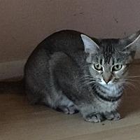 Domestic Shorthair Cat for adoption in Columbus, Ohio - Sapphire