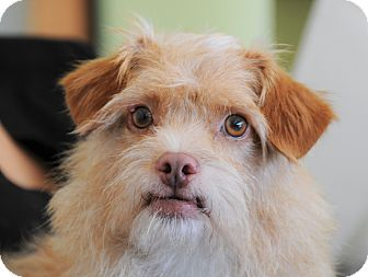 Terrier (Unknown Type, Small) Mix Dog for adoption in Agoura Hills, California - Scruffy Sammy