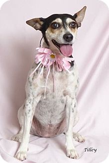 Rat Terrier Mix Dog for adoption in Kerrville, Texas - Tilley