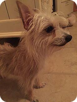 Yorkie, Yorkshire Terrier Mix Dog for adoption in Leesburg, Florida - Frankie