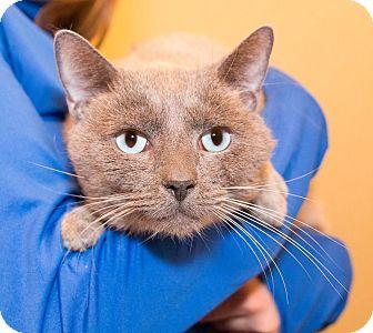 Siamese Cat for adoption in Seville, Ohio - Atlas